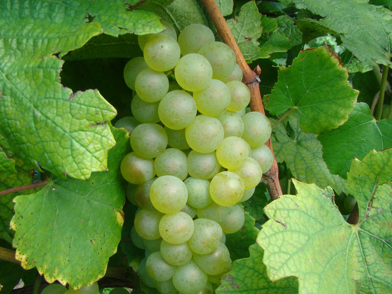 prodaja loznog kalema vinske sorte sardone