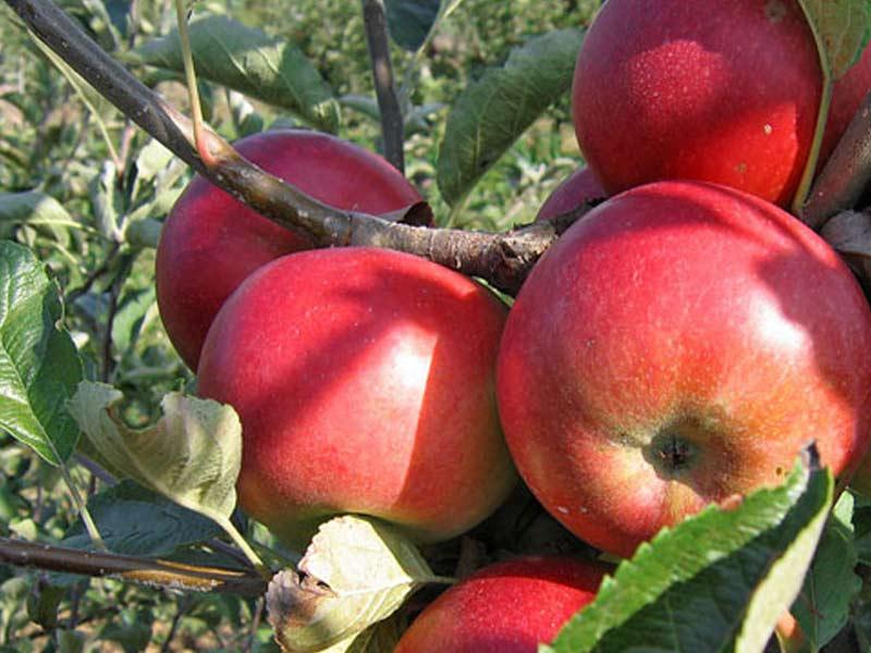 sadnica jabuka sumatovka