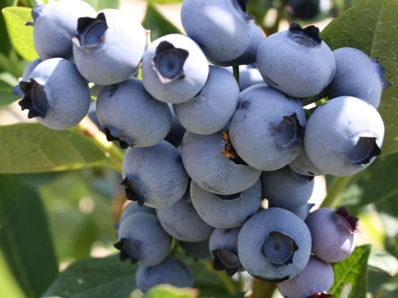 Sadnice borovnica bluemeri