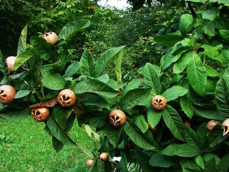 sadnice domaca musmula