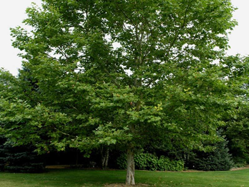 sadnice drveca platan
