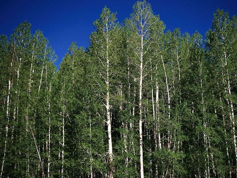 sadnice drveca topola
