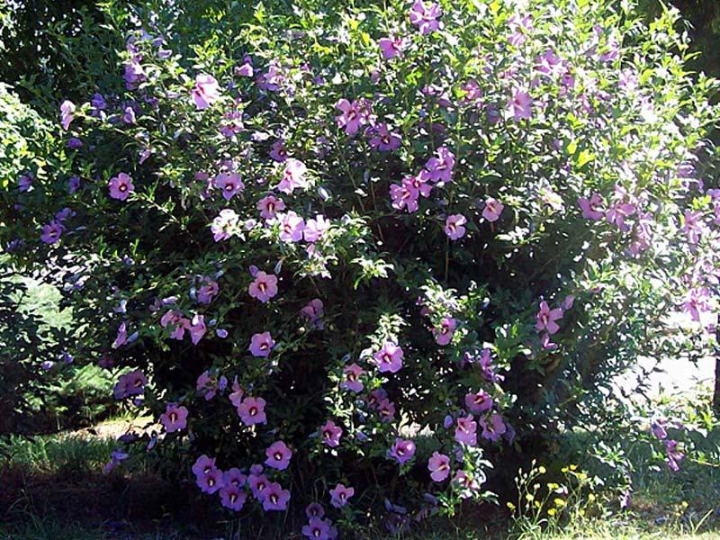 sadnice hibiskus