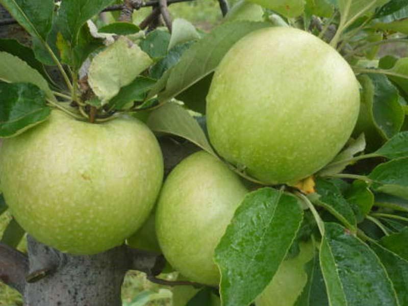 sadnice jabuka greni smit spur