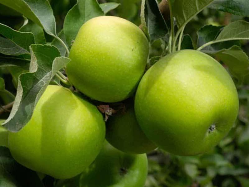 sadnice jabuka greni smit