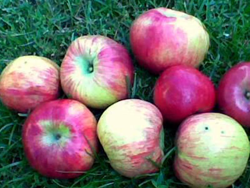 sadnice jabuka kolacara