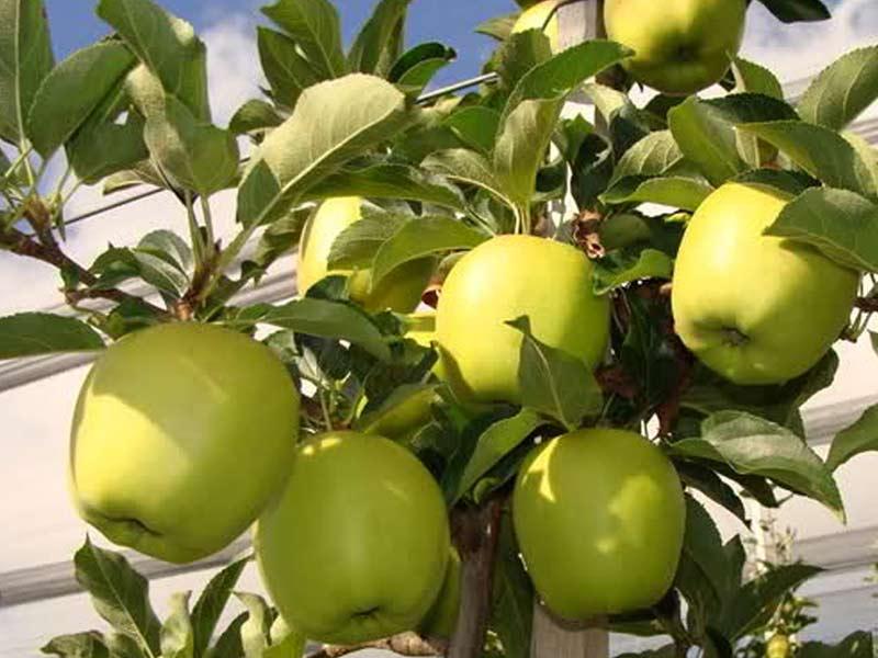 sadnice jabuka mucu