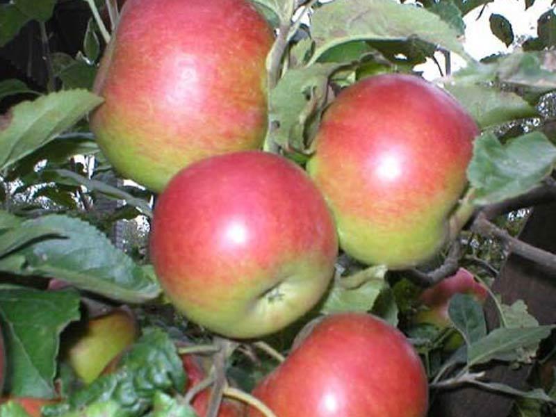 sadnice jabuka prim ruz