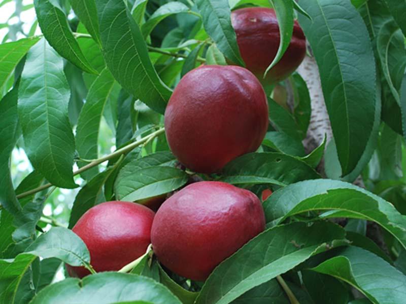 sadnice nektarina fantazija