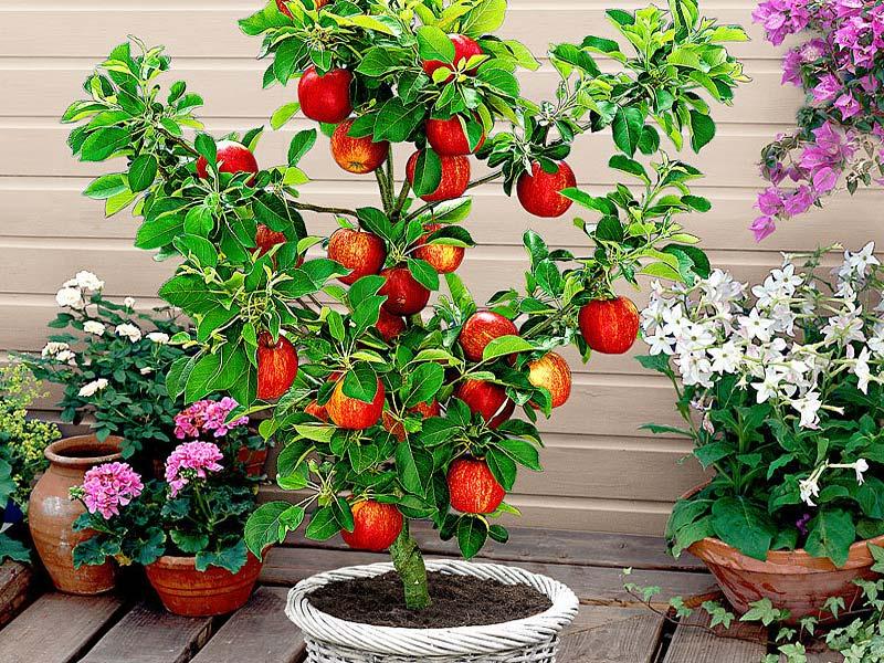 sadnice patuljasta jabuka