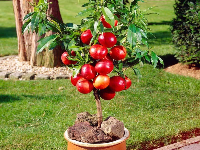 sadnice patuljasta nektarina