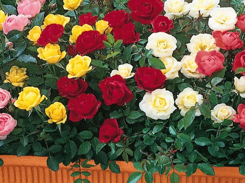 sadnice patuljasta ruza