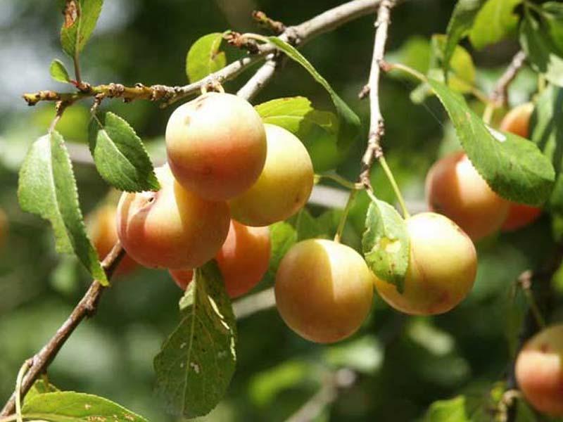 sadnice sljiva ruska dzanarika