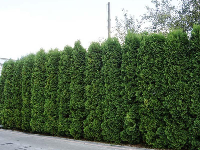 sadnice tuja za ograde