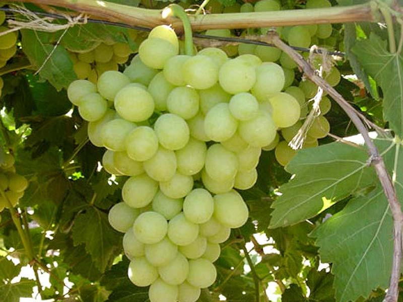 sadnice vinova loza stona sorta medijana