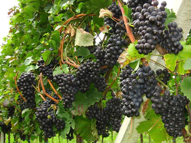 sadnice vinova loza vinske sorte frankovka