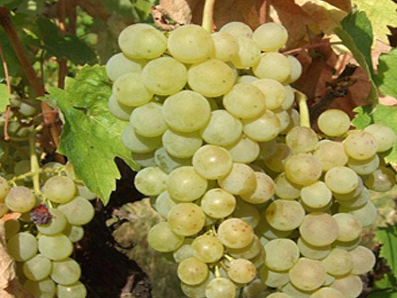 sadnice vinove loze vinske sorte smederevka
