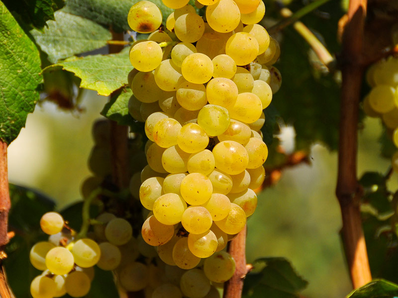 sadnice vinove loze vinske sorte tamjanika