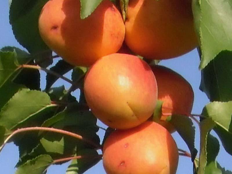 sadnice voca kajsija roksana