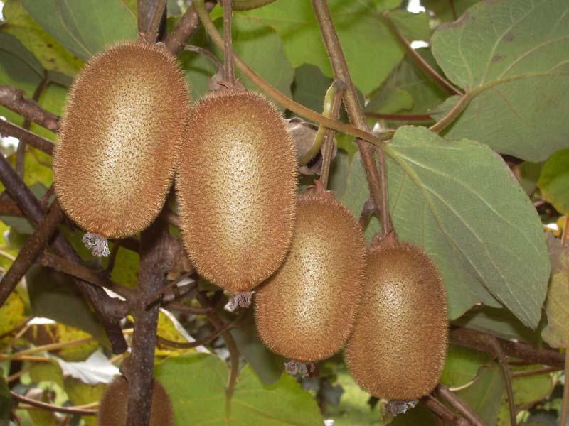 sadnice voca kivi bruno