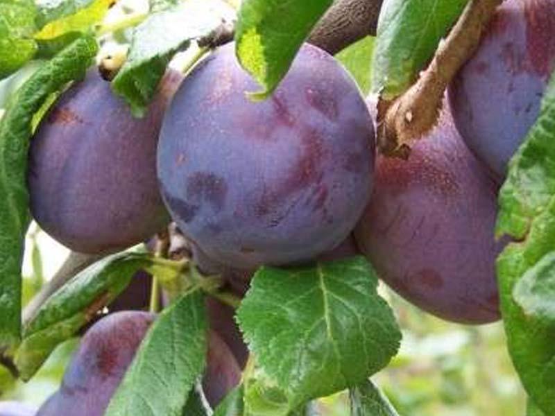 sadnice voca sljiva ana spart