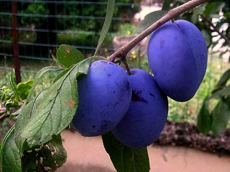 sadnice voca sljiva grose felicija