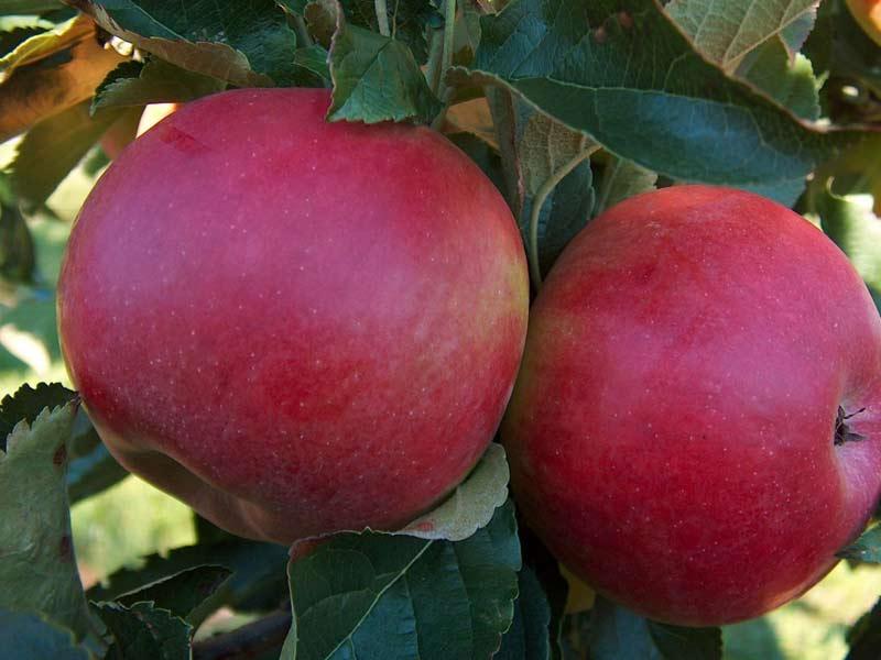 vocne sadnice jabuka ajdared