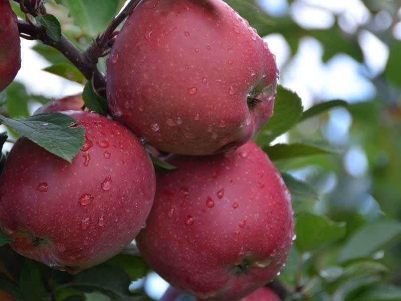vocne sadnice jabuka crveni delises cham spur