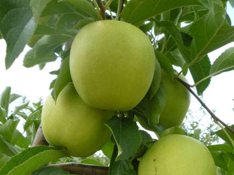 vocne sadnice jabuka rajders